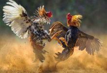 Photo of مرغے نے لڑائی کے دوران ایک آدمی کو قتل کر دیا